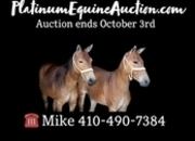 Place your bids at www.PlatinumEquineAuction.com Two of a kind Exotic Zorse Team, Ride and Drive nice Prospect!