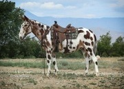 Checkers is a nice trail mule. Checkers is very gentle and willing to go anywhere you ask him he crosses water and down timber. He is safe enough for dudes/guests. Checkers has been used on the ranch to check fences and move cows. Checkers has a fantastic