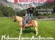 GYPSY VANNER Crossbred Place your bids at www.PlatinumEquineAuction.com beginner safe trail horse, stout built and gentle for any rider on trails or around the ranch!