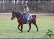 Beautiful, Beginner/Timid Rider Safe, Bay Kentucky Mountain Trail Mare