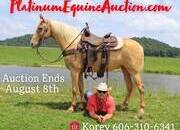 Place your bids at www.PlatinumEquineAuction.com beginner safe trail horse, super smooth gaited and traffic safe!