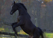 EGYPTIAN ARABIAN - Tall, Black, and Oh, so handsome!  A Dream Come True!