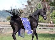 EGYPTIAN ARABIAN - Sensational, rare black stallion at stud - son of World Champion True Coleurs