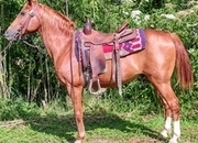 14.3 hand Quarter Horse Gelding