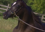 EGYPTIAN ARABIAN -Attention Color Lovers!   Gorgeous Black Beauty   Extremely rare white markings- featured in International Book!  Selling in foal to black son of World Champion