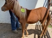 4842 Miniature Filly APPROX 1 YO