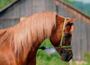 Egyptian Arabian - Tall, Gorgeous Imperial Stallion- World Champion Bloodlines