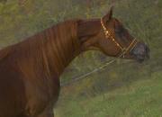Egyptian Arabian - Pride of the Desert, Fancy Moving Royally Bred Stallion!