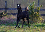 UNDER CONTRACT -  Egyptian Arabian - HOMOZYGOUS BLACK  filly - Tall, correct, beautiful,  fancy mover - future champion
