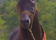 UNDER CONTRACT - Egyptian Arabian, German Import, Homozygous Black, Clean Pedigee - A gentle, loveable beauty!