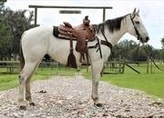 Big Handsome Grey Ranch Gelding!