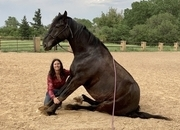Get noticed on this stunning gorgeous fella.  007 is a gorgeous, talented,versatile Friesian/Percheron/QH cross. 007 is well trained and rides English or Western; he has done a lot, from cow sorting to trail riding to cross country jumping. Don't miss out