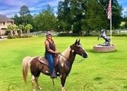 Registered Pleasure Saddle Trail Gelding