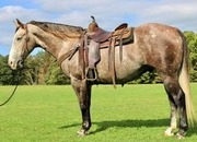 Laredo - 7 year old one of a kind grey Draft/Quarter Horse Cross