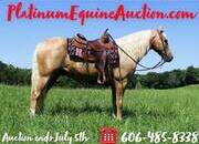 Place your bids at www.PlatinumEquineAuction.com Fancy Dark Palomino gelding, Super smooth gaited, lots of style, great on trails, beginner safe and has been ridden by all ages!