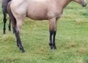 Buckskin Roan Colt