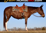 Place your bids at www.horsebid.com, Molly Mule, western dresssage, trails & Arena, One of a Kind!