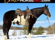 Place your bids at www.horsebid.com,HIGHLIGHT!! Spotted Saddle Horse Gaited Gelding, Beginner & family safe, Gentle, One of a Kind!