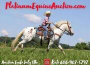 Place your bids at www.PlatinumEquineAuction.com FAMILY safe ranch/Trail/Lesson horse, stout built and gentle for any rider that can get on board!!!