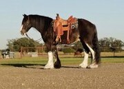 Mario - 10 year old super fancy black and white Gypsy Vanner
