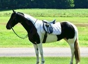 Daisy - 3 year old registered Fresian Sport Horse