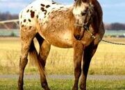 Flashy bay roan blanket Appaloosa gelding