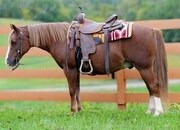 Rummy - 15 year old super cool Welsh cross pony gelding
