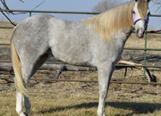 Jessie - Gorgeous Gray 22 month old filly
