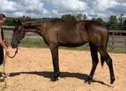 2018 Black Bay Hanoverian Mare IN FOAL to DON HILL