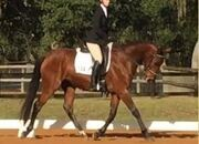 2015 Dutch Bay Warmblood Mare IN FOAL to Don Ricoss