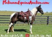 Place your bids at www.PlatinumEquineAuction.com Fancy gelding, Super smooth gaited, lots of style, great on trails, gentle for any rider!