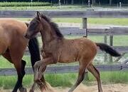 2020 Bay Andalusian Gelding