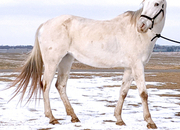 Pearly white confidence builder Appaloosa