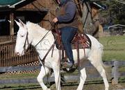 White Gaited Trail Mule Gelding