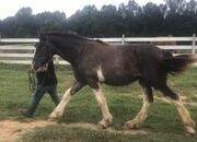 Rare Black Clydesdale Stallion Prospect