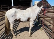 4854 Gaited Black and White Paint Mare APPROX 17-18 YO