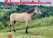 Online Auction, Super Smooth Gaited Broke Trail Horse!