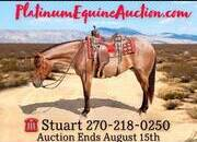 TRICK HORSE!!! Place your bids at www.PlatinumEquineAuction.com beginner safe ranch horse, gentle for any rider on trails or around the ranch! Penning, Sorting, Roping! Liberty Training, Rein By The Mane Broke!!!