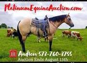 Place your bids at www.PlatinumEquineAuction.com beginner safe ranch horse, big stout and gentle for any rider on trails or around the ranch! Penning, Sorting, Roping!