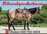 TOP PROSPECT HEADER!!! Place your bids at www.PlatinumEquineAuction.com experienced ranch horse, big stout and gentle for trails or around the ranch! Penning, Sorting, Roping, Cutting, Reining!
