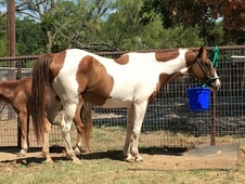 gentle family paint gelding