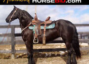 Place your bids at www.horsebid.com, HIGHLIGHT!!! gorgeous registered Friesian Blood Horse mare, extremely well broke, seasoned, experienced, and gentle.,finished driving horse , One of a Kind!