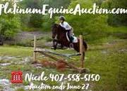 Place your bids at www.PlatinumEquineAuction.com Finished Jumping and started Dressage Pony! Great on trails and Kid safe!