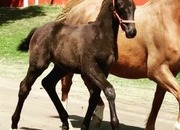 DECIBELLE - Warmblood Young Mare