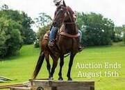 Place your bids at www.PlatinumEquineAuction.com, beginner safe trail horse, ranch ridden, trail obstacle competitions, safe and broke!