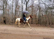 The ultimate unicorn is here!!! Kid Safe Gaited Trail Gelding