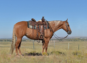 Beautiful red dun mare. 13 yrs old! Reining broke family horse.