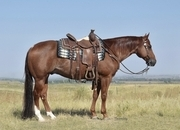Red roan ranch gelding! Gentle and super broke. Used for lessons.