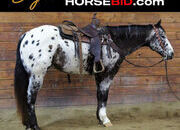 Place your bids at www.horsebid.com, Highlight Alert!! Double Registered Appaloosa and POA Gelding & family safe, Gentle,One of a Kind-Very Unique! Finished Trail Horse, Finished Show and Arena Horse and Has also worked cattle.
