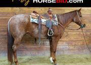 Place your bids at www.horsebid.com,  Red Roan Registered American Quarter Horse Gelding, Super Good Broke to Ride, Super Safe, Super Quiet, trails, ranch, beginners horse